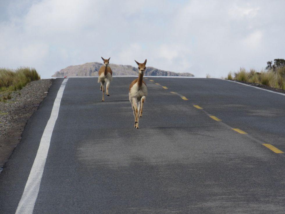 A falta de autos, vicuñas corren por la carretera en Pampa Galeras. (Foto: Sernanp)