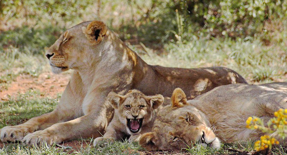 Cachorro de león sorprende a su madre y la curiosa reacción de ella desata las risas en redes. (Foto: captura Pixabay)