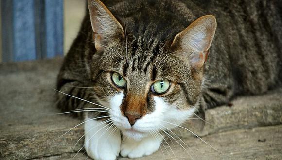 Un gato causa sensación en Facebook por hacerle una llave de lucha libre a otro minino dentro de una casa | Foto: Referencial / Pixabay / doanme