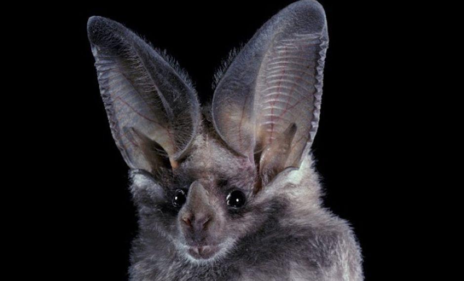 Macrotus waterhousii, murciélago insectívoro de Norte América, EEUU y México. Foto: ©Merlin D. Tuttle – Bat Conservation International.