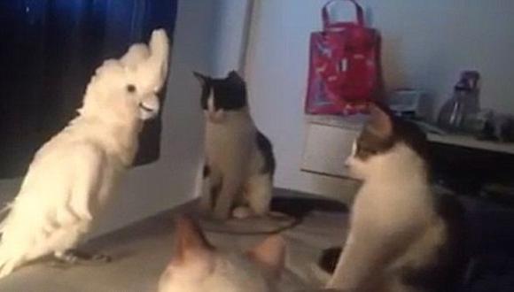 Esta cacatúa tiene talento para imitar a los gatos [VIDEO]