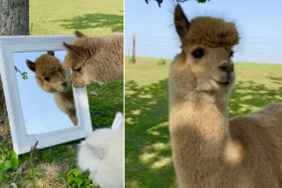 La conducta de la alpaca divirtió a miles de usuarios en todo el mundo. (YouTube: ViralHog)