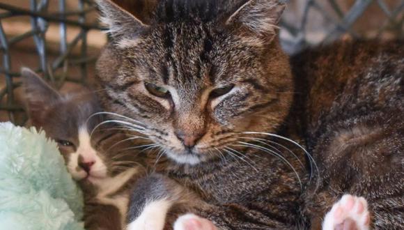 Gato rescatado de la calle causa ternura en redes por su nueva faceta de 'abuelo'.