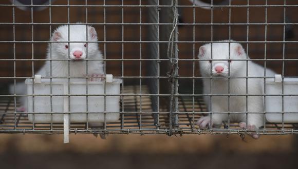 Foto referencial tomada el 21 de julio de 2015 de visones dentro de jaulas en una granja en la provincia china de Hebei. (FOTO AFP / Greg BAKER).