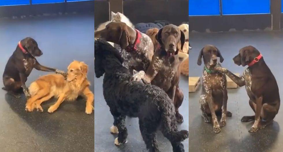 El can asiste al centro The Den Doggy Daycare, una guardería para perros en Burlington, Canadá (Foto: Captura de pantalla/ Twitter @WeRateDogs)