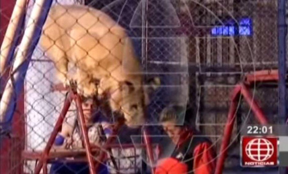 Representantes de circo fueron denunciados por ataque de leona