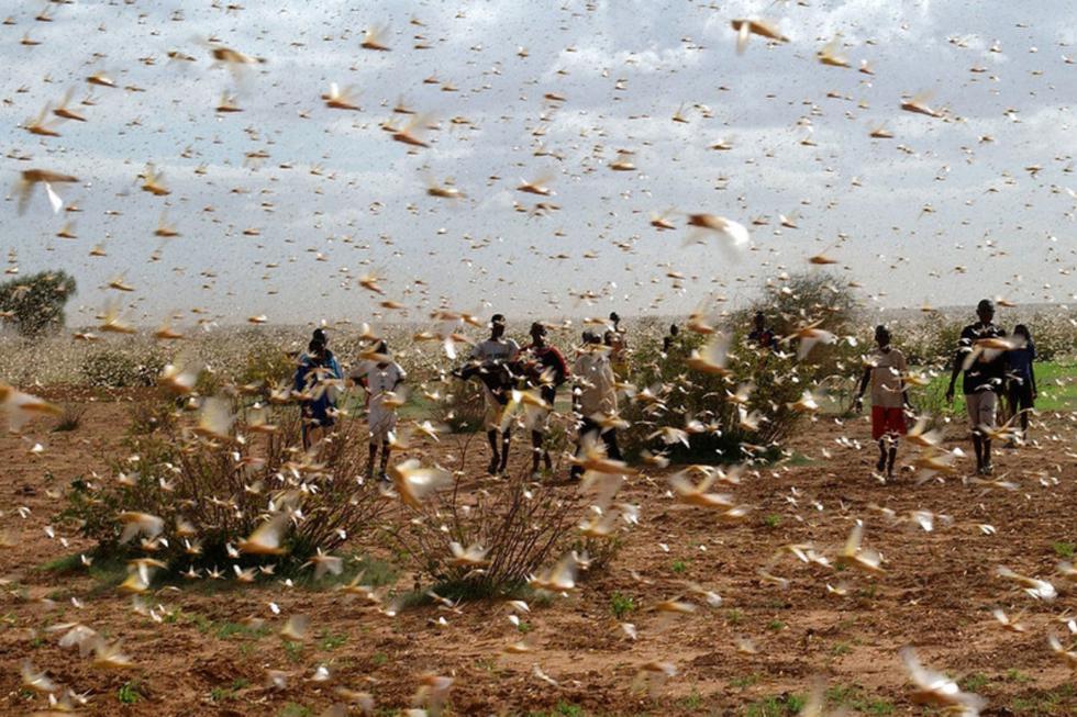 Una nueva plaga corre el riesgo de cobrar miles de vidas. (FAO / Giampiero Diana)