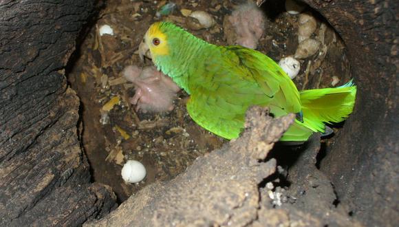 Cotorra margariteña y su cría en uno de los nidos monitoreados por el proyecto. Foto: Provita.