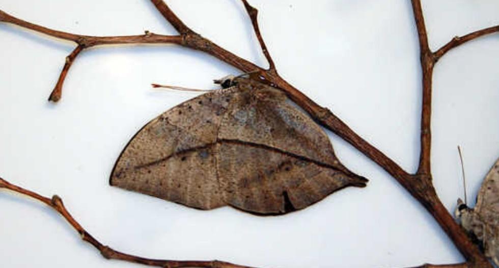 Este insecto despista a sus depredadores mimetizándose entre el follaje como si fuera una hoja seca. (Foto: Wikipedia/Referencial)