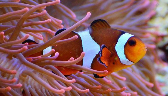 Mucha gente da por cierto que el sexo biológico queda establecido al nacer, pero muchos peces lo cambian de forma rutinaria en la edad adulta. (Foto: Pixabay)