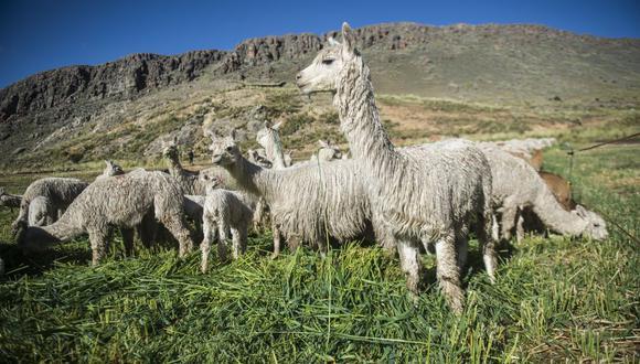 Perú representó hasta septiembre de 2020 el 71.7% de la producción mundial de alpaca. (Foto: GEC)