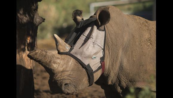 ¿Por qué este rinoceronte lleva una máscara?