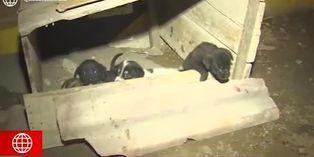 Coronavirus en Perú: encuentran a cachorros abandonados en la vía pública