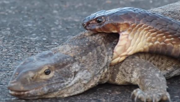 Tanto este reptil como el denominado 'rey cobra' se enfrascaron en una batalla que, inesperadamente, terminó resolviéndose porque la cobra se dispuso a atacar al que estaba grabando con la cámara. (Foto: Kruger Sightings)