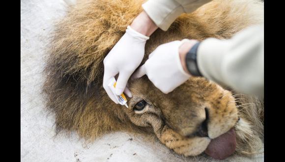 Hallan a dos leones abandonados por un circo en México