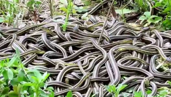 Alrededor de 150 serpientes fueron encontradas en la vivienda (Foto: Referencial)