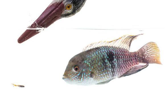 El guppy, lebistes o pez millón es un pez de agua dulce procedente de Sudamérica. (Foto: AFP)