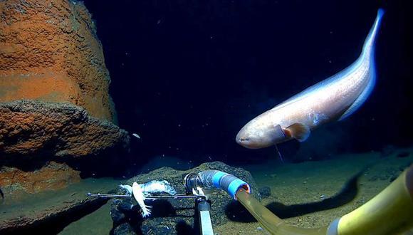 Los científicos encontraron una gran cantidad de vida en lo más profundo del océano. (CALADAN OCEANIC LLC)