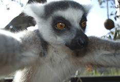 Ahora un lemur se tomó un selfie