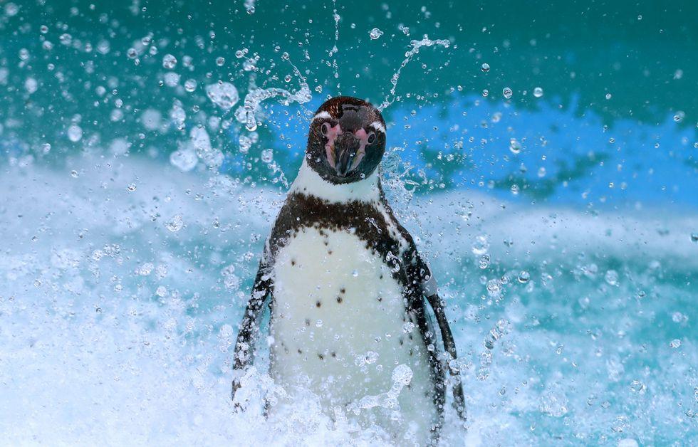 Poco más de la mitad de los pingüinos de Humboldt que habitan en la zona costa del zoológico nacieron allí, en cautiverio  (Foto: Alessandro Currarino).
