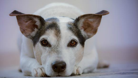El tener una mascota en la oficina ha pasado a convertirse en algo normal en ciertas compañías. (Foto: Referencial/Pixabay)
