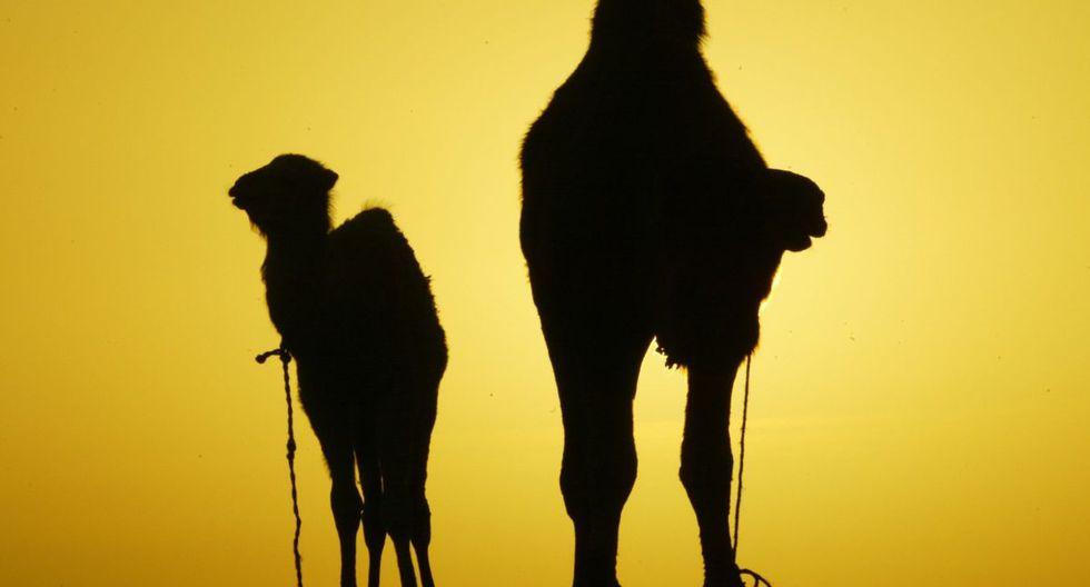 La matanza de los camellos durará cinco días y se llevará a cabo en los territorios de Anangu Pitjantjatjara Yankunytjatjara (APY). (AFP)