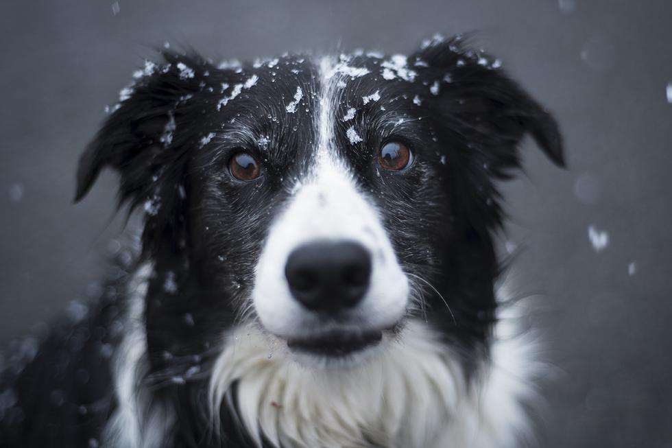 Perro que estaba encadenado en la nieve finalmente se da cuenta de que está a salvo. (Pexels)