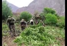 Ayacucho: hallan e incineran 15 mil plantaciones de hoja de marihuana en Amaru Pampa | VIDEO