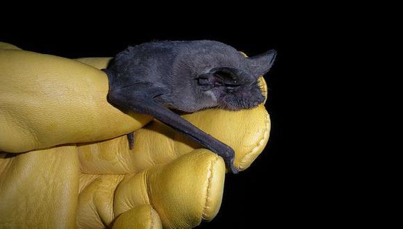 Murciélago cola de ratón es el animal con el vuelo más rápido