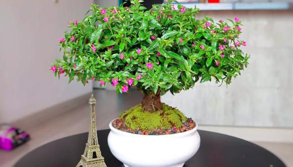 Los mini árboles no son árboles sino un arbusto, de planta cuphea, cuyos tallos son tejidos para que se asemejen a un tronco. Este es el resultado. (Foto: Dpto. Verde).