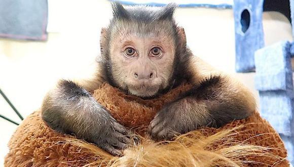 Este tierno mono es toda una celebridad en redes sociales, pues su cuenta oficial tiene más de 903 mil seguidores. (Foto: Facebook)