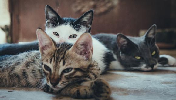 Los gatos encontrados por la Policía en la casa de Smilen terminaron en albergues. (Foto referencial - Pexels)