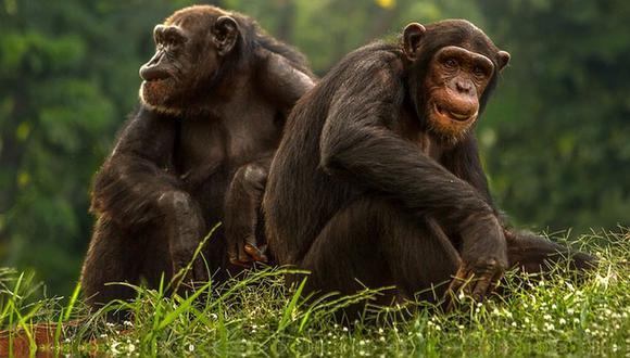 El aprendizaje social de los chimpancés puede variar dependiendo de lo complicada que sea la tarea (Foto: Pixabay)