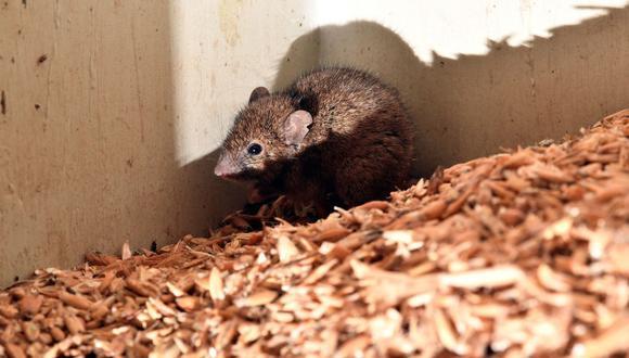 Una plaga de ratones obliga a evacuar a todos los presos de una cárcel de Australia. (Foto referencial, Saeed KHAN / AFP).