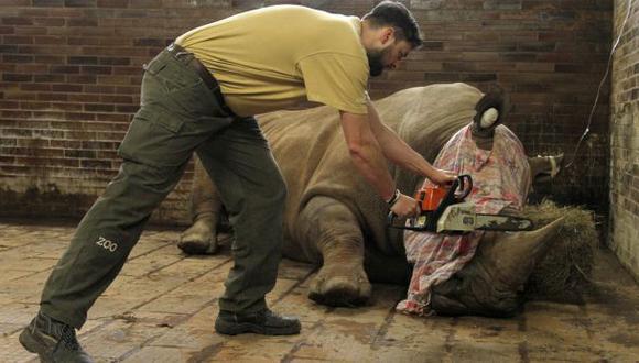 Un veterinario usa una sierra para cortar el cuerno de un rinoceronte del zoológico Dvur Kralove, en la República Checa. (AP).