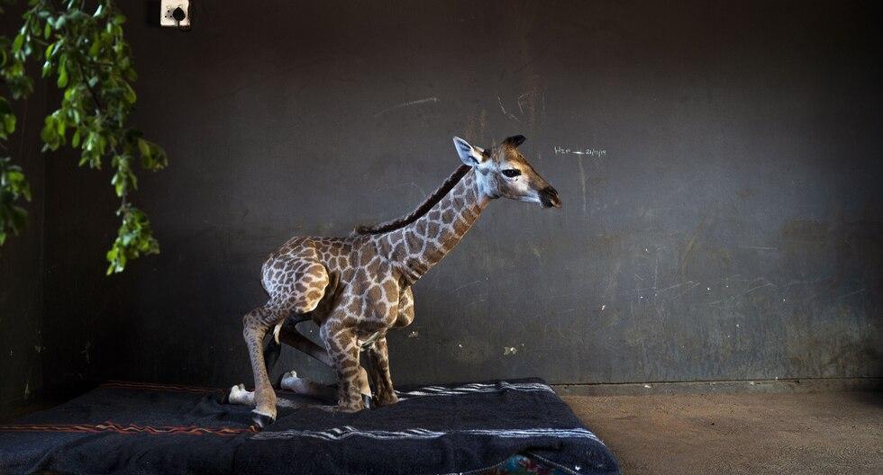 La jirafa bebé está siendo cuidada en un orfanato para rinocerontes hasta que recupere sus fuerzas y el perro no se separa de su lado. (Foto: AP)