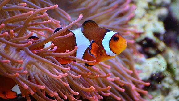 En el caso del pez payaso el cambio es de macho a hembra. (Foto: Pixabay)