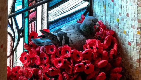 Esta es una de las fotos de la paloma en su nido. (Foto: Ian Roach)