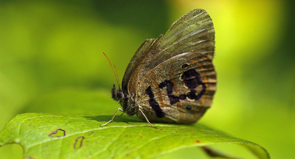 Mariposa en peligro de extinción de Estados Unidos. (Foto: Robert F. Bukaty , STF/ AP)