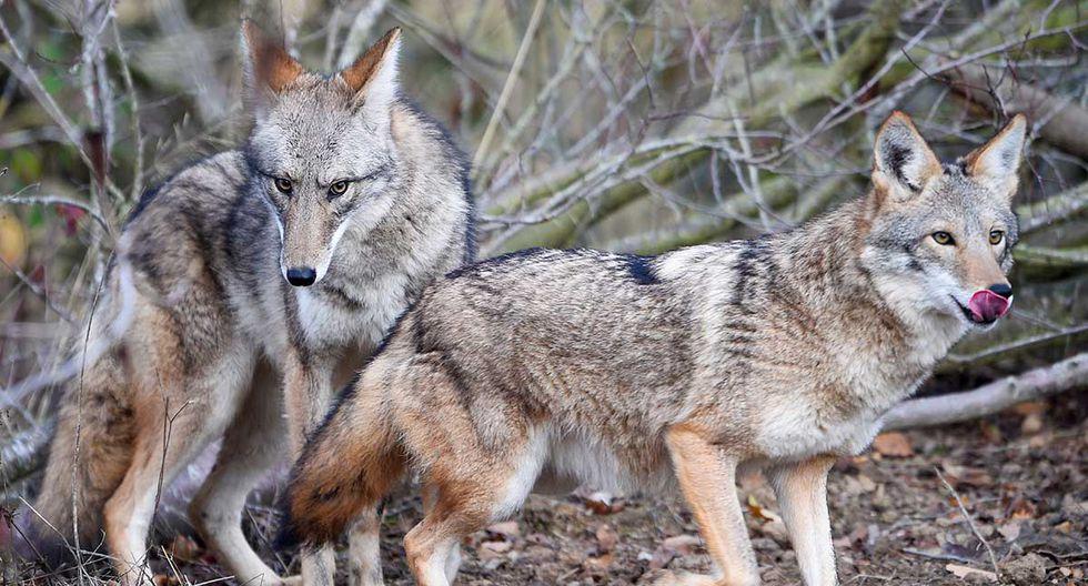 Si bien los coyotes son comunes en los 88 condados de Ohio, es muy raro que alguno ataque a los humanos. (Foto: AFP/ Referencial)