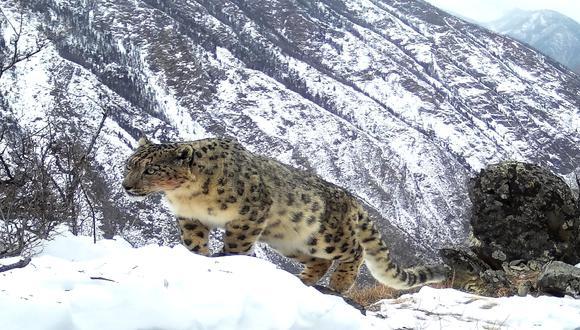 La foto que mostró la reaparición del leopardo de las nieves en el Parque Nacional Sailugem fue tomada a 20 m del felino. / Foto: GettyImages.