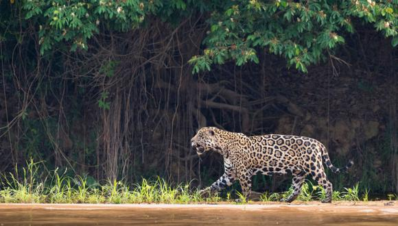 Jaguar en Brasil. Foto: Richard Barrett / WWF UK