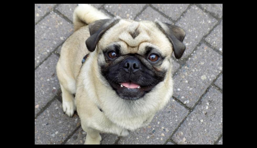 Un perro de raza pug ha hecho reír a muchos usuarios de Instagram. (Referencial - Pixabay   @holythepug)