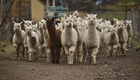Huancavelica: Más de 6 mil familias criadoras de alpacas con graves problemas económicos por cuarentena. (Foto archivo)