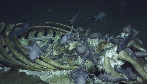 Pulpos y anguilas alimentándose del cadáver de la ballena (YouTube | E/V Nautilus)<br>