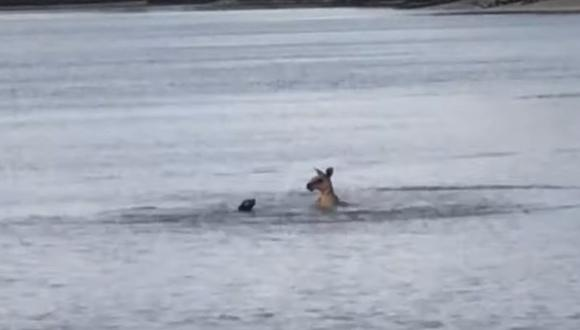 Un canguro y un perro se enfrascaron en un insólito enfrentamiento en medio de un enorme lago en Australia | Foto: Captura de video / ViralHog