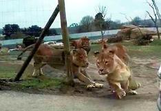 Facebook: manada de leones ataca auto con niños en su interior [VIDEO]