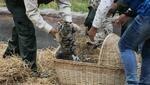 Las tres tigresas de Bengala nacieron el mes pasado en el Parque de las Leyendas (Foto: Difusión).