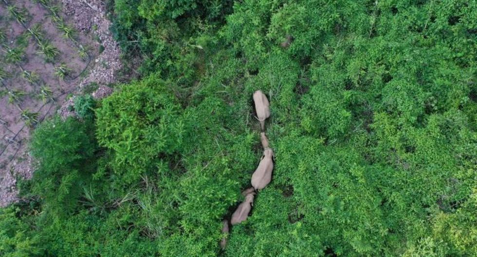 The herd of elephants that has traveled more than 500 kilometers and that has puzzled scientists in China