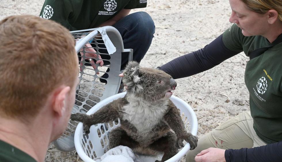 Carrera contra el tiempo para salvar los animales en isla Canguro en Australia. (Foto: AFP)